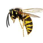 stichheiler-wespe