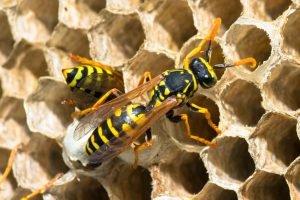 Wespen stehcen, wenn Sie Gefahr wittern