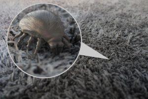 Die Hausstaubmilbe im Teppich