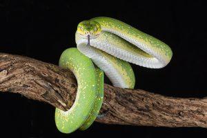 Schlange schlängelt sich um einen Ast