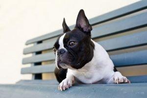 Boston Terrier auf einer Bank.