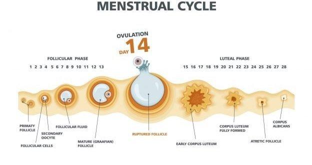 Was sie über den Eisprung vor einer Schwangerschaft wissen müssen