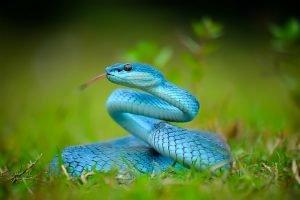 eine blaue viper liegt im gras