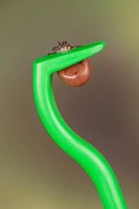 eine Zecke in einem grünen Zeckenhaken
